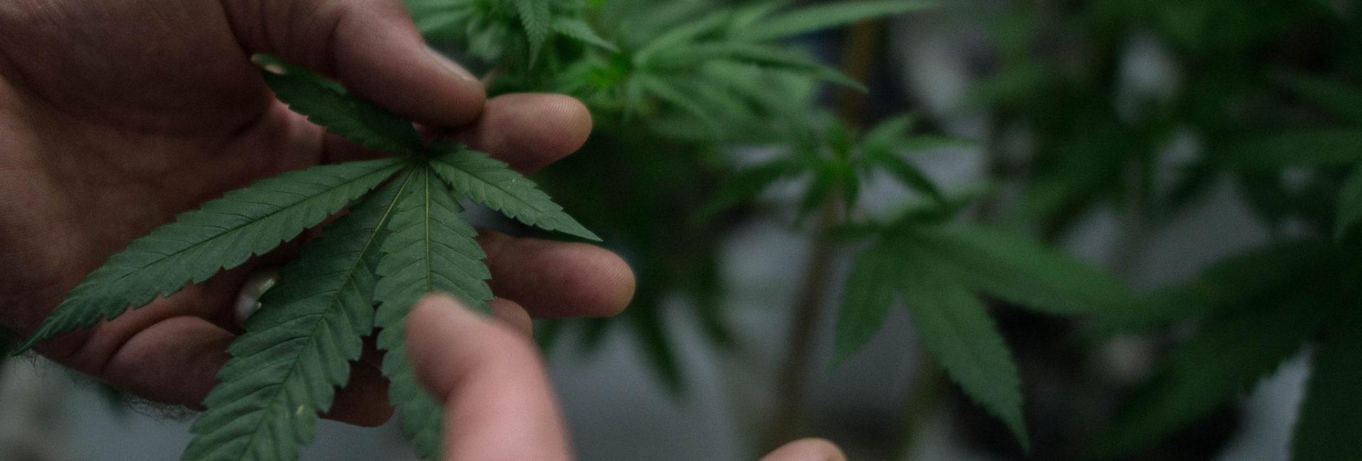 """Informe especial: Cannabis medicinal en Argentina – por Nelson Castro, en """"La mirada despierta"""" – 21/3/19"""
